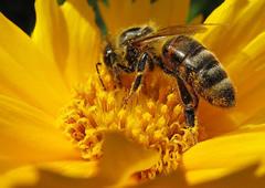abeja-nicotinoides